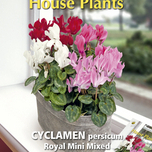 Kamerplanten Cyclamen Royal mini mix