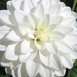 Dahlia Decoratief Wit Fleurel