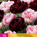 Tulpen Sweet Desire Mix