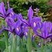 Iris Hollandica Blue Magic