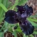 Iris Germanica 'Black Knight' (Baardiris)