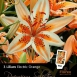 Lilium Asiaticus Orange Electric – Aziatische Lelie
