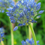 Allium Caeruleum - Blue-of-the-Heavens