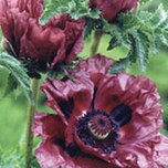 Papaver Patty Plum