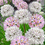 Allium-Sierui Roseum en Amplectans Mix