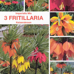 Fritillaria Imperialis (Keizerskroon)