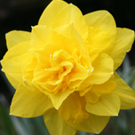 Narcissen Golden Ducat