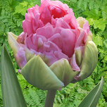 Tulp Double Arosa