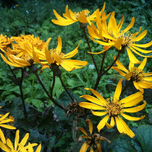 Tongkruiskruid 'Othello' (Ligularia dentata)