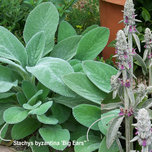 Ezelsoor (Stachys byzantina 'Big Ears')