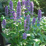 Dropplant (Agastache 'Black Adder')