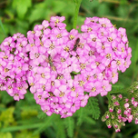 Achillea mil. Lilac Beauty