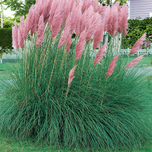 Cortaderia Selloana Pink Feather - Pampas gras roze 6-pack