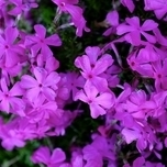Kruipende Vlambloem 'Purple Beauty' (Phlox)