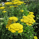 Duizendblad 'Cloth of Gold' (Achillea)