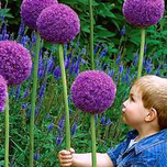 Alliums Gladiator (Grootverpakking)