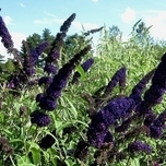 Buddleja Davidii 'Black Knight' (C2)