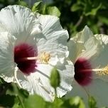 Hibiscus Syriacus 'Red Heart' (C2)