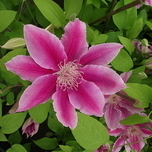 Clematis 'Dr. Ruppel' (P11-40cm)