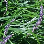 Leliegras 'Big Blue' (Liriope Muscari)