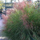 Chinees Prachtriet Gracillimus - Miscanthus (Sixpack)