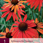 Echinacea Purpurea Hot Summer