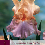 Iris Germanica Crazy for You