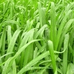 Siergras Zegge 'Irish Green' (Carex) (Sixpack)