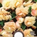 Begonia Dubbel Champagne
