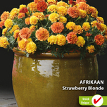 Afrikaantjes zaden Strawberry Blonde - Tagetes