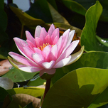 Waterlelie Roze - Nymphaea