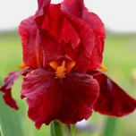 Iris Germanica Red Zinger - Baardiris