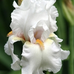 Iris Germanica Immortality - Baardiris (Driepack)
