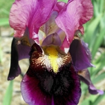 Iris Germanica Sen Lac - Baardiris (Driepack)