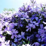 Kruipende Vlambloem Emerald Cushion Blue - Phlox (Driepack)