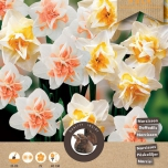 Narcis Grace Mix - Narcissus