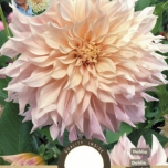 Dahlia Dinnerplate Strawberry Ice