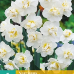 Narcis Sir Winston Churchill - Narcissus